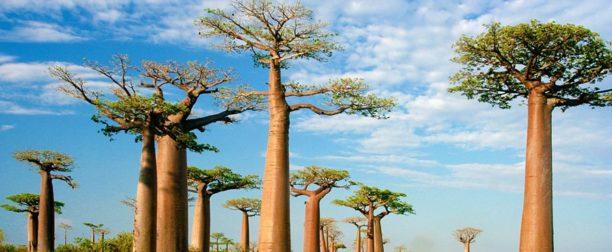 Baobab Ağacı Nasıl Yetiştirilir? Bakımı Nasıl Yapılır?