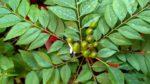 Köri Ağacı Nasıl Yetiştirilir? Bakımı Nasıl Yapılır?