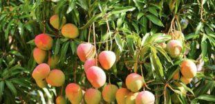 Mango Ağacı Nasıl Yetiştirilir? Bakımı Nasıl Yapılır?