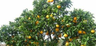 Portakal Ağacı Nasıl Yetiştirilir? Bakımı Nasıl Yapılır?