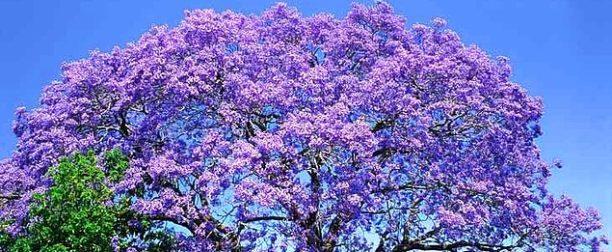 Jacaranda Ağacı Nasıl Yetiştirilir? Bakımı Nasıl Yapılır?